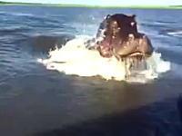 カバの泳ぐスピードを舐めてはいけない。遠くにいたと思ったのに潜水してガバーッ!