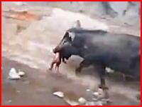 路上に捨てられた?人の赤ちゃんを食べるブタの映像が撮影される。色々とショッキング。