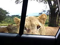 車の中だから安全だと思ってたのにまさかライオンがドアを開けてくるとは・・・。