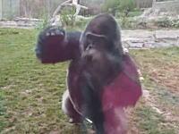 動物園のゴリラが観客を襲おうとしてガラスを破壊。これは怖すぎる(((゚Д゚)))