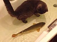 お互いに興味津々?バスタブの中を泳ぎ回るコイとネコちゃん。ほのぼの動画。