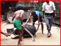 凄い切れ味。ネパールのブタ(家畜)の殺し方が凄い動画。再生注意(°_°)