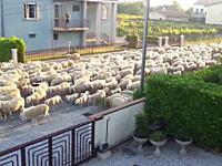 俺んちの垣根を食うなwww羊の大移動で住宅街を通ったもんだから・・・。働くワンコ。