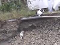 お母さん猫の愛。崖から落ちた我が子を助けるニャンコのビデオが人気になってる。
