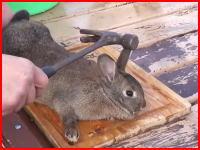 ウサギのさばき方を解説したビデオがちょっとグロい。金槌と鉄砲のシーン再生注意。