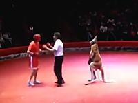 レフェリーの指示にちゃんと従うカンガルー。これが本当の異種格闘技戦。男vsカンガルー