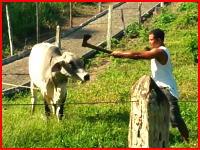 斧を使った牛の倒し方。一撃必殺!?脳天に一撃を食らわせて倒してしまう動画。