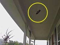 蜘蛛の巣に獲物が掛かったらどうなるのか。こうなります動画。蜘蛛の早業。