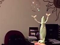 このカメレオン可愛すぎワロタwwwシャボン玉に興奮して手を伸ばすカメレオンのビデオが人気。