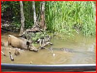 水中に引きずり込まれていくイノシシ。ガイドにエサで誘い出されたイノさんが食われる動画。音量注意。