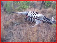 シマウマの死体から吹きだした血液にかぶりついていたヒョウが驚き戸惑う。