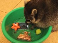 アライグマを自宅で飼うと色々なものを現れて困るwww携帯も洗われるww