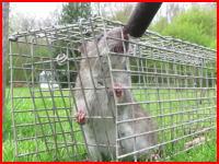 罠に掛かったネズミにゼロ距離から銃を発砲して殺してみた動画がアップされる。
