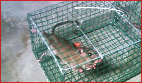 【閲覧注意】罠で捕らえたネズミの殺し方色々。熱湯をかける。罠ごと水に沈める。