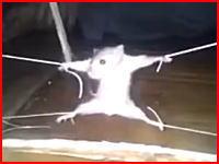 店の商品を荒らした罪で四肢をロープで縛られ吊るされているネズミさん。