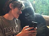 男性のスマフォに表示されるゴリラの画像を興味深く眺める動物園のゴリラ。