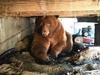 自宅のバルコニーの床下に大きなクマが出た時の対処方法。近づきすぎやろ(°_°)