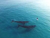 パドルボーディング中の人間と2頭のクジラの出会い。エスペランスの浅瀬にやってきたクジラたち。