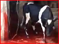 屠殺失敗で牛に逃げられてしまうビデオ。首からピュッピュと血を吹きだしながら逃走する牛。