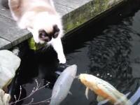 種族の違う出会い。モフいニャンコと池の鯉。ラグドールのティモ君。
