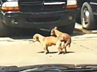 交尾中にぶっ倒れたワンちゃんの悲しいビデオ。ピクリとも動かんけどどうなった。