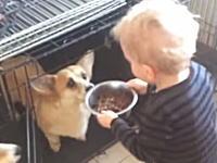 ワンちゃんたち(コーギー)の世話をする3歳児の映像。これはソーキュート。