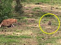 本気になったニャンコの狩り。ウサギを狩るネコがなかなかカッコイイじゃない。