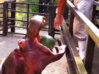 まるでプチトマトでも食べているようにスイカを丸かじりするカバさんのビデオ。