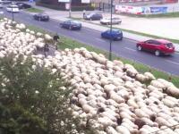 ポーランドでは羊の大移動の為に渋滞が発生する事がある。今日のほのぼの動画。