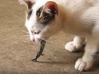 クチャクチャ。トカゲを美味しそうに食べる子猫の映像。下半身だけになっても動くのにちょいビビリ。