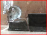ゴムで窒息死させている?珍しいタイプのネズミ駆除器を試してみた動画。再生注意。