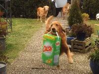 カワウィィィ!せっせと荷物運びのお手伝いをするゴールデン・レトリバーたち。