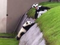 南紀白浜アドベンチャーワールドの赤ちゃんパンダとパンダお姉さんのやり取りが可愛すぎると話題に。