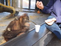 動物園のオランウータンにマジックを披露してみた動画。反応が面白いwww