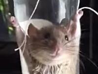 ネズミを叱っても無駄だろww中国のおばちゃんネズミを磔にして罰をあたえる。