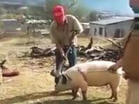 豚を殺そうとしていた男性が自ら振り下ろした斧でノックアウトされちゃう謎い動画。