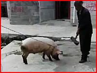 大きな木槌で脳天バチーン。家畜のトンちゃんを屠殺する方法。中国の場合。