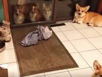 ワンワン動画。「家に入る時のルール」をしっかりと守るコーギーたちがカワイイwww