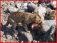 シリアで撮影された人の死肉をあさるネコちゃんたちの映像が話題に。
