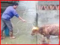 まだ生きている牛をバーナーで炙る中国の村人の映像が炎上ぎみに。再生注意。