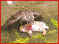 生きたまま鷹に食われているウサギちゃん。自宅のテラスで目撃される(°_°)