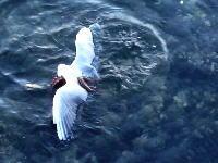 カモメを捕らえて溺死させるタコさんの映像が撮影される。これ食うのかな?(°_°)
