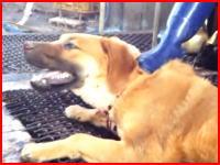 韓国の犬食文化。ワンちゃんたちの屠殺(とさつ)の現場を撮影したビデオが衝撃的。