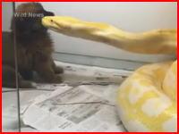 大蛇に可愛い小犬を餌として与える動画をネットに投稿した中国人に批判が殺到。