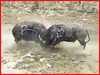 おっそろしい衝撃。巨体の水牛に頭突きさせあったら二頭が共にノックアウト。死んじゃったかな(°_°)