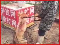 食用にされるワンちゃんの映像がなかなか衝撃的(@_@;)鉄ハサミで捕まえて棍棒でガツンと。