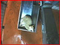 動物を食べるという事。ラム肉工場の屠殺の現場。生きたまま宙吊りにされ血を抜かれる羊たち。