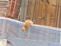 建設現場のキャッチネットでオロオロしていたニャンコがクレーンに驚いて落下。