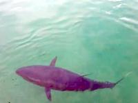 漁港にまさかのマグロ!泳いでた!珍しいところで遭遇したマグロに餌を与えたら不運なカモメさんが巻き込まれた動画。