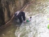 動物園の獣舎に落ちた4歳の男の子がゴリラのおもちゃにされている映像が公開される。